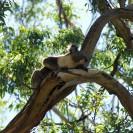 Koalas: Australiens schläfrige Eukalyptusfreaks