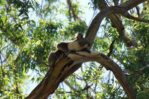 Ein Koala in lichten Eukalptusbaumhöhen