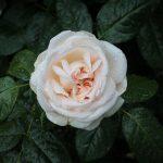 """Rose """"Schloss Ippenburg"""" im Regen"""