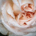 Rosenschönheit im Landregen