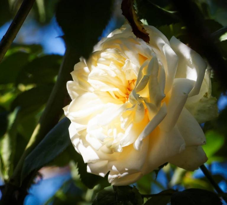 Fang die Sonne ein! Die #Kletterrose 'Ilse Krohn Superior' im Morgensonnenschein. #meingarten #Rose #rosenblüte #blossom #roseoftheday #instarose #instagarden #instagardenlovers #FB