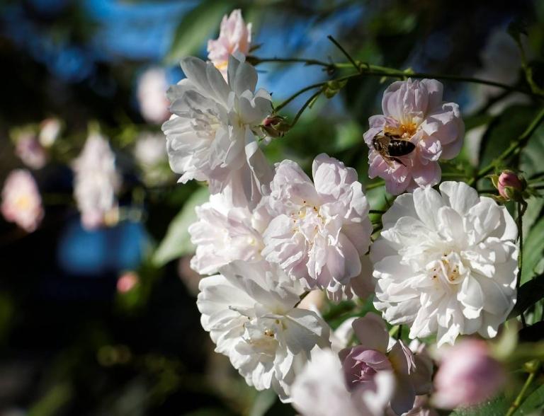 Sonnige Rosenzeit: die #Bienen freuen sich über die Blüten von 'Pauls Himalayan Musk' #kletterrose  #meingarten #rambler #roseoftheday #rose #monsterrose #bees #blossom #nofilter #summerfeeling #FB