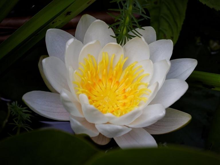 Es ist wieder Seerosenzeit. #meingarten #gartenteich #flowerstagram #Summer #FB