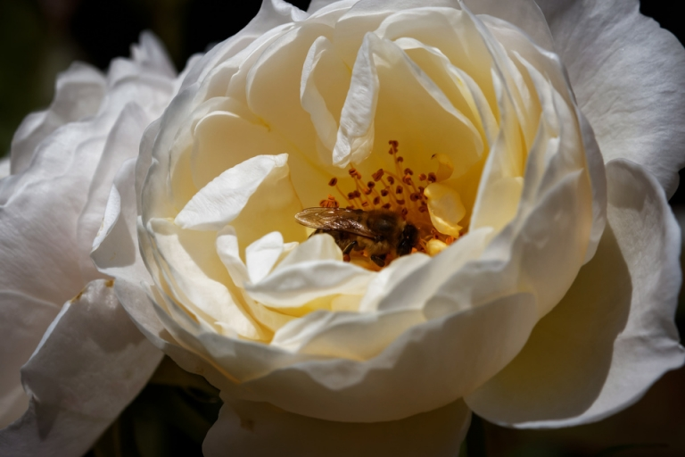 Festmahl für Honigbienen: Uetersener Klosterrose. #rosensommer #meingarten #instaroses #flowerstagram #honeybee #FB