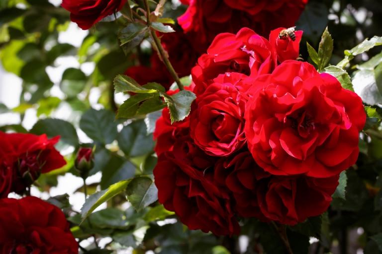 Rosenblüten ohne Ende: Kletterrose 'Amadeus'. #redroses #meingarten #flowersofinstagram #instagardenlovers