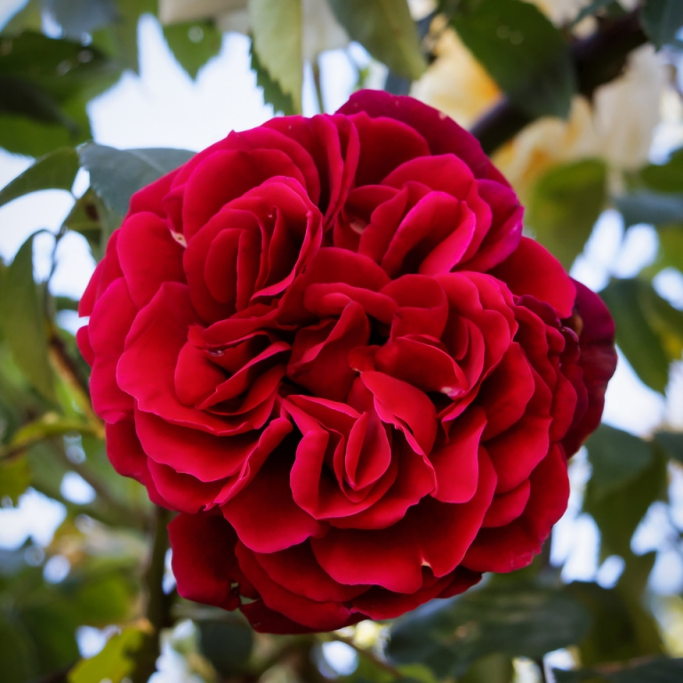 Rot, dicht gefüllt, Himbeerduft: Kletterrose 'Naheglut'. #meingarten #rosenzeit #summertime #rose #roseoftheday #flowerstagram #roseoftheday #instagarden #FB