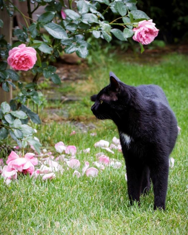 Der #Kater interessiert sich eher weniger für die Rosen. #katermo #meingarten #catsofinstagram #katzen #catstagram #catsofig #FB